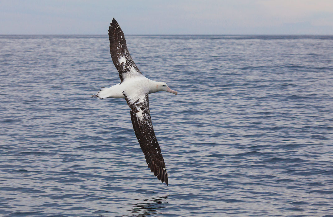 Northern Royal Albatros flying showing its huge wingspan, Kaikoura, South Pacific Ocean, New Zealand, 1280x834px