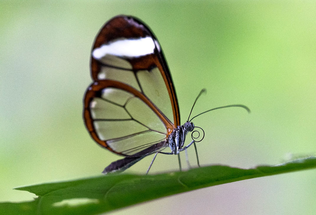 Greta Morgane Butterfly, Wildlife with transparent wings, Mexico City, Macro, 1280x873px