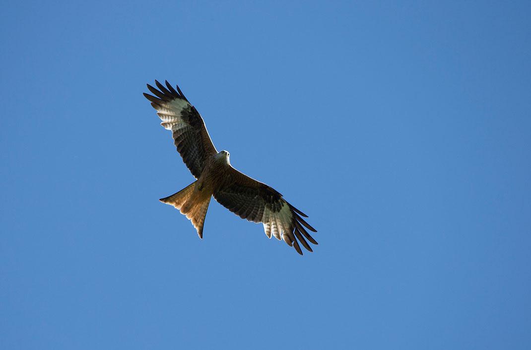 Red Kite Bird of Prey, Wildlife at the Kuehkopf Nature Reserve, Rhine River, Hessen, Germany, 1280x843px