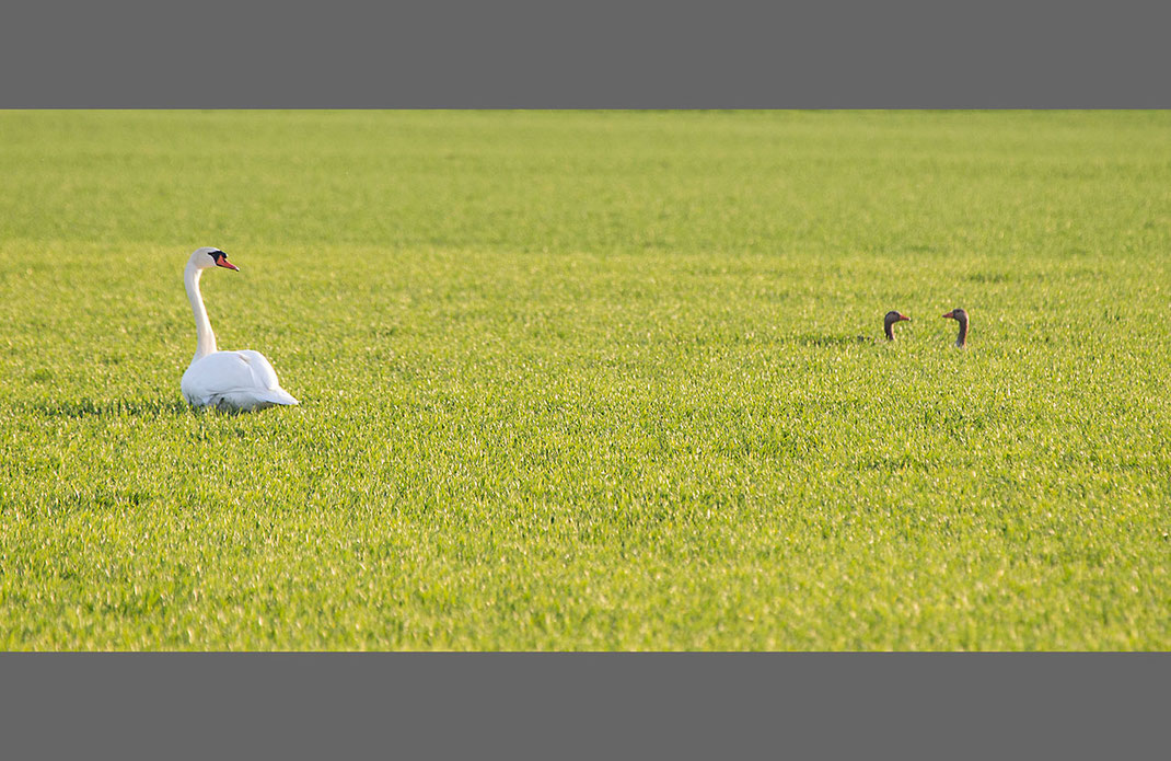Swan and Goose in a field, wildlife at the Kuehkopf Nature Reserve, Rhine River, Hessen, Germany, 1280x831px