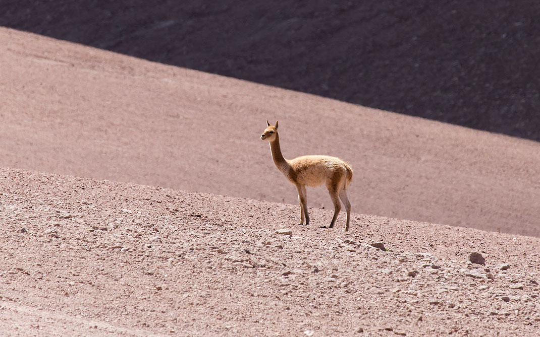 Guanaco in the rocky desert close to Bolivia, Atacama at high elevation, Chile, 1280x800px