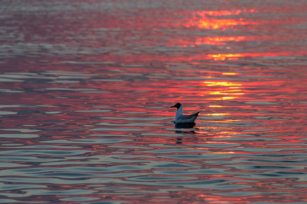 Red and orange reflections in the water with seagull, Texel, Holland, Netherlands, 1280x853px
