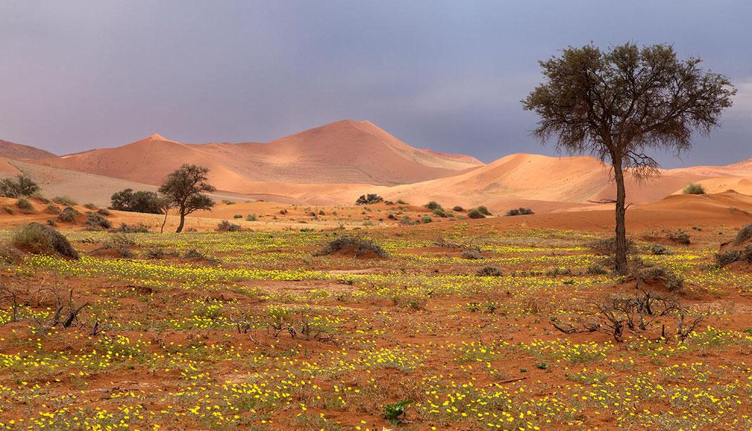 Beautiful yellow flowers after the rain in Sossusvlei, Namib Desert surrounded by orange sand dunes, Namib Naukluft Park, Namibia, 1280x733px