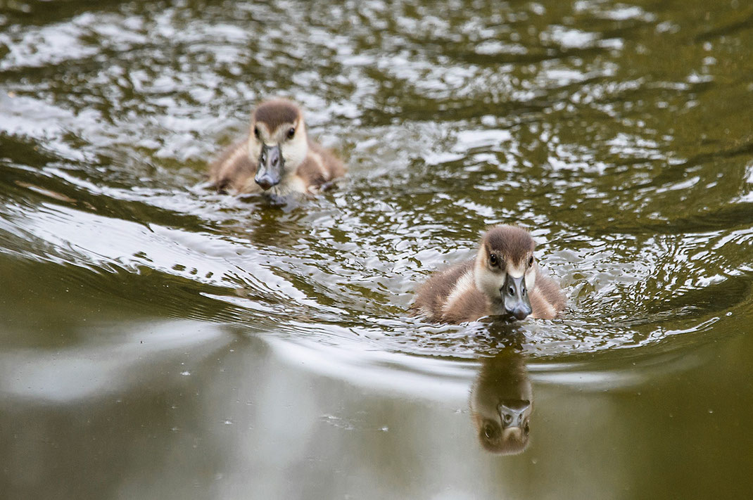 Egyptian Goose Babies swimming in a lake, Rhein-Main, Gross-Gerau, Hessen, Germany, 1280x851px