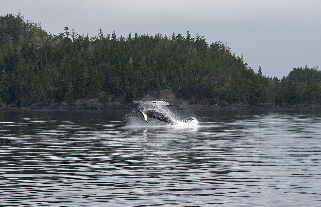 Humpback Whale jumping at Vancouver Island, Pacific Ocean, British Columbia, Canada, 1280x828px