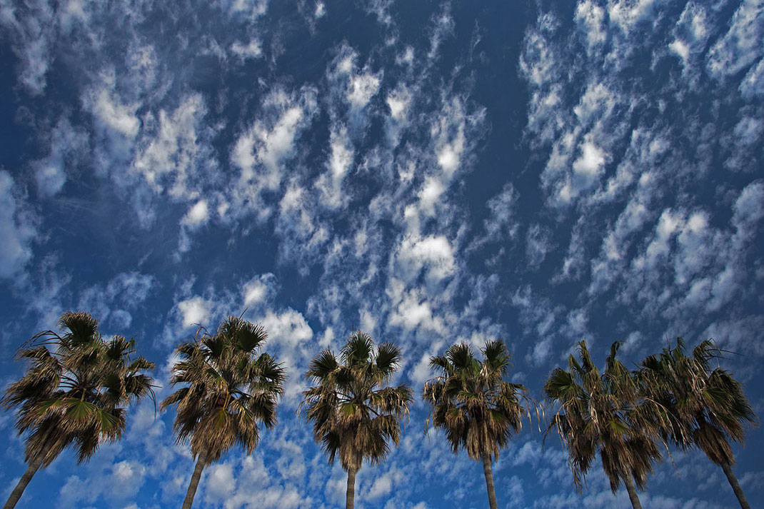 Group of palm trees in front of a blue summer sky with nice clouds, perspective picture, Malaga, Spain, 1280x853px