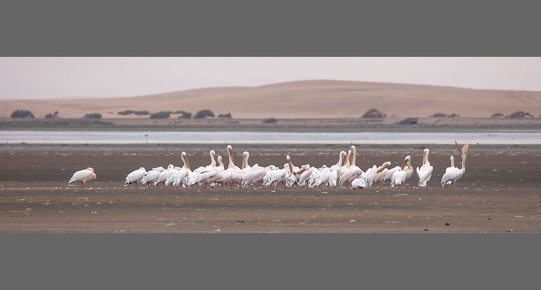 Group of White Pelicans at a Lagoon in the Desert with sand dunes, Namibia, Africa, 1280x685px