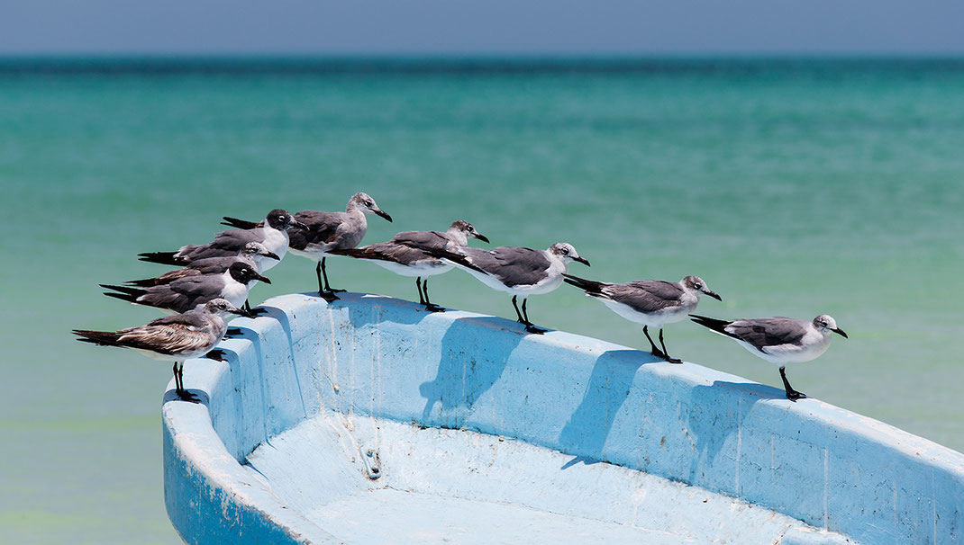Group of seagulls sitting on a wood boat, turquoise Caribbean Ocean, Holbox, Yucatan, Mexico, 1280x725px