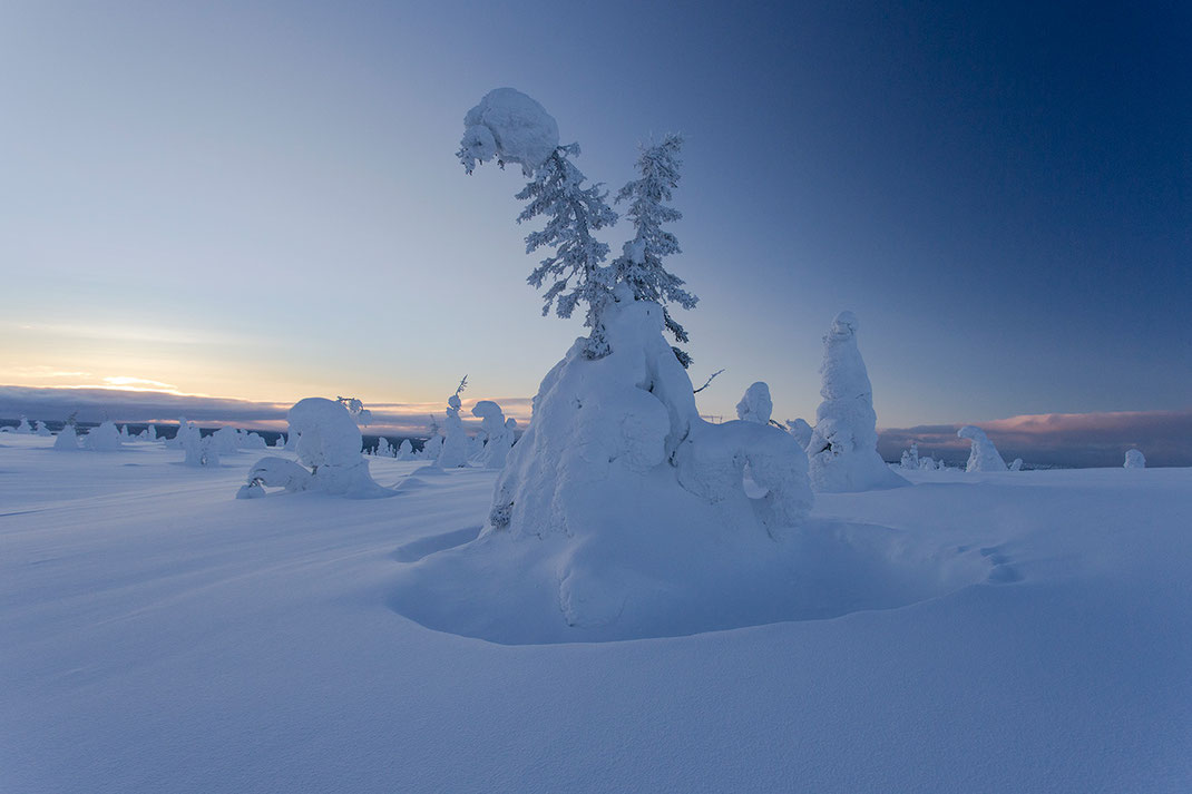 Frozen Trees in the Riisitunturin National Park, Lapland, Posio at sunset in blue twilight