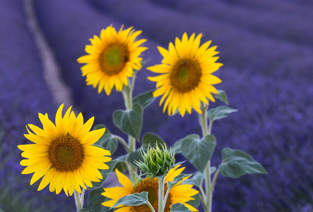 Yellow and purple colors of sunflowers in a lavender field in summer, Provence, France