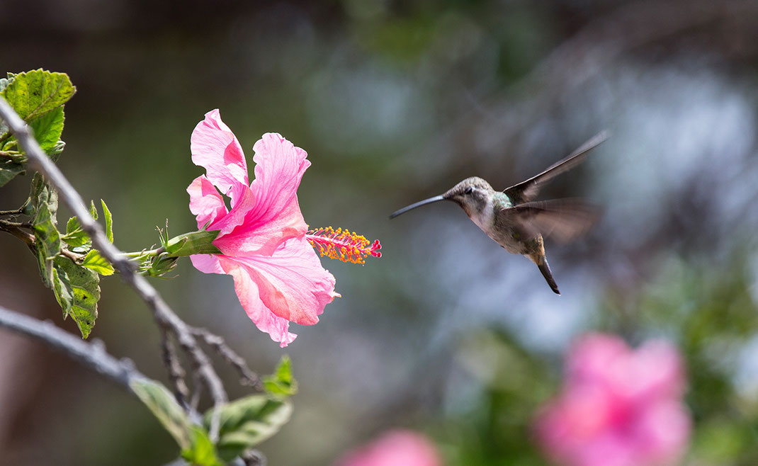 A Humming bird in front of a red flower searching for nectar, Arica, Pacific Coast, Chile, 1280x787px