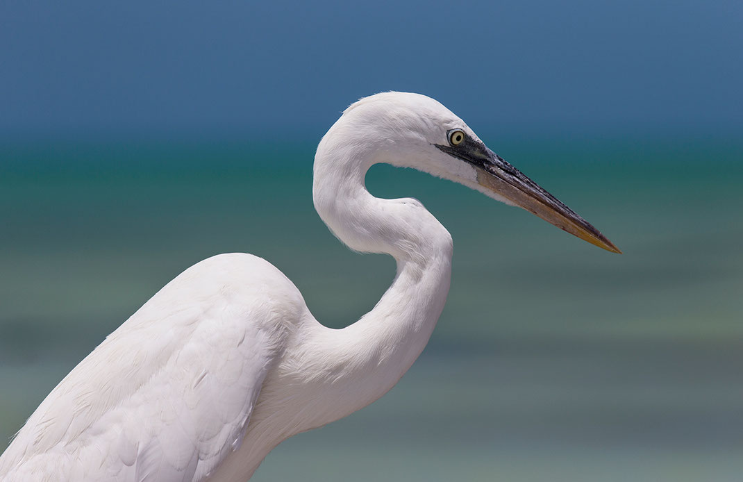 Beautiful white heron bird at the Gulf of Mexico, Island Holbox, Yucatan Peninsula, Mexico, 1280x830px