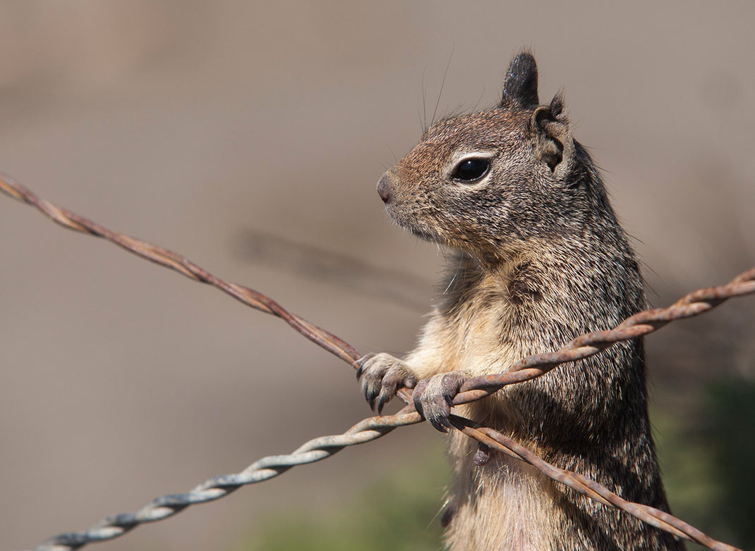 Grey Squirrel and barbed wire, wildlife at the Pacific Coast, California, Big Sur, USA, 1280x935px