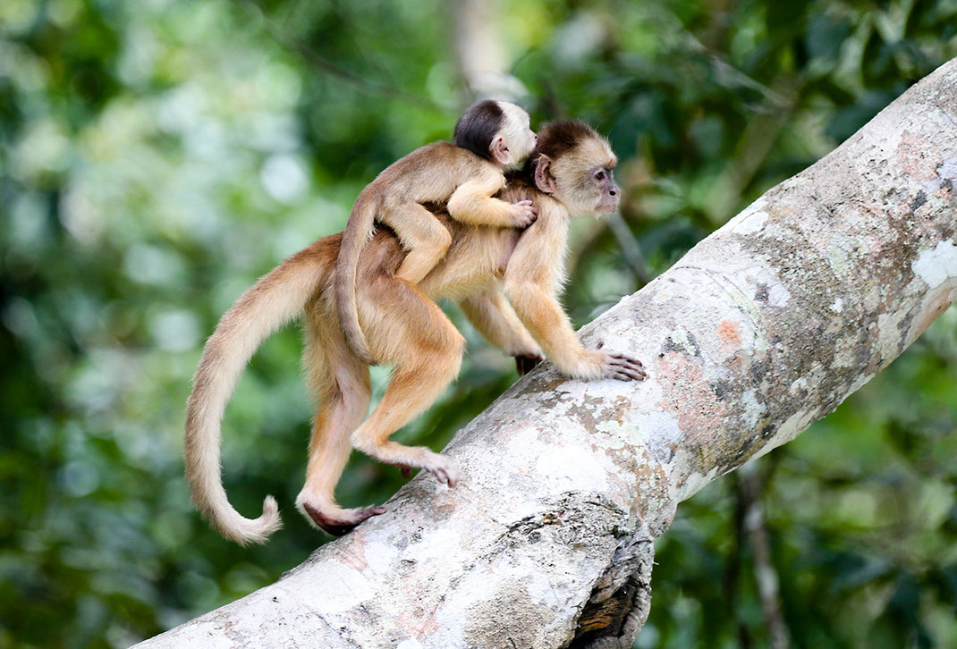 Mother with cute Baby Monkey on her back climbing a tree, Rainforest, Amazon, Manaus, Brazil, 1280x869px