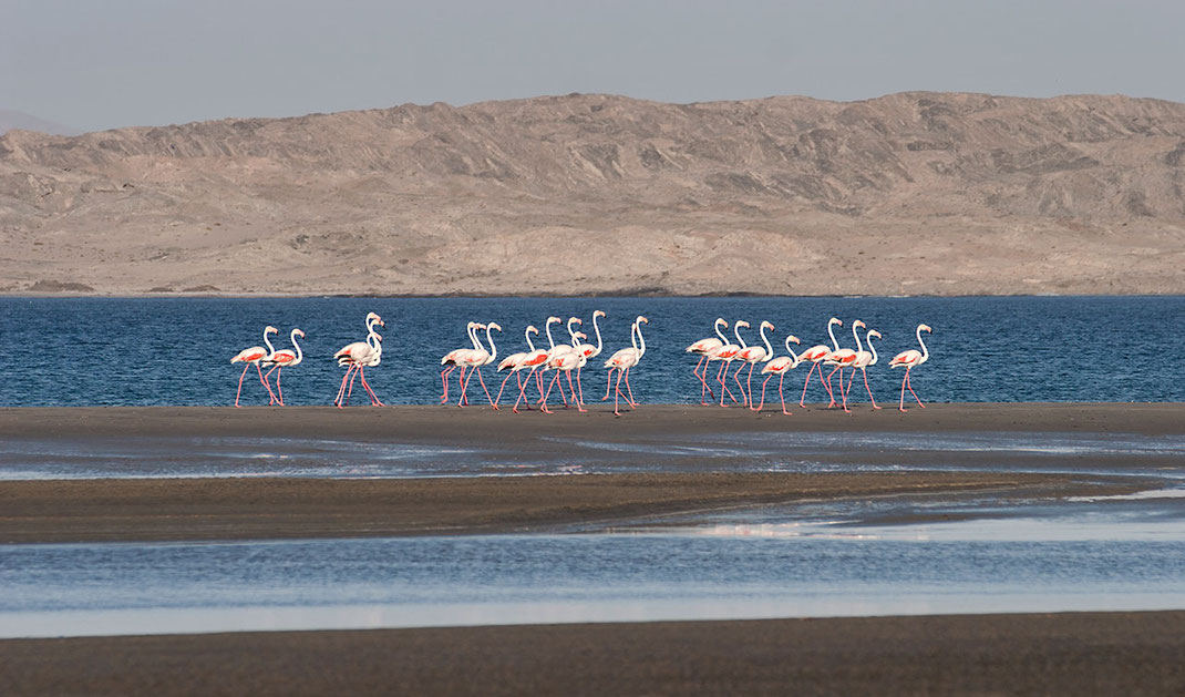 Group of Flamingos walking along a Lagoon at the Namibian Coast with Desert, Namibia, Africa, 1280x752px