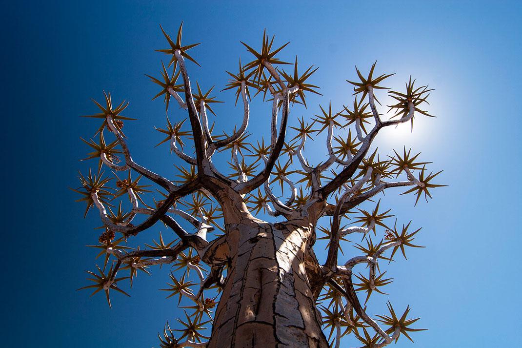 Beautiful Quiver tree and sun reflection at blue sky, Kalahari Desert, Namibia, 1280x853px