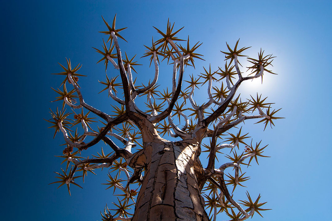 Beautiful Quiver tree and sun reflection at blue sky, Kalahari Desert, Namibia, 1280x853px