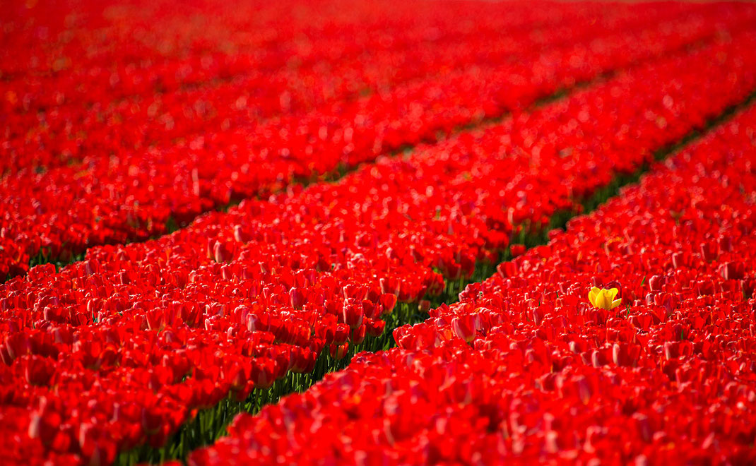 Yellow Tulip in a field of red Tulips with intense colors, Keukenhof Park, Holland, Netherlands, 1280x790px