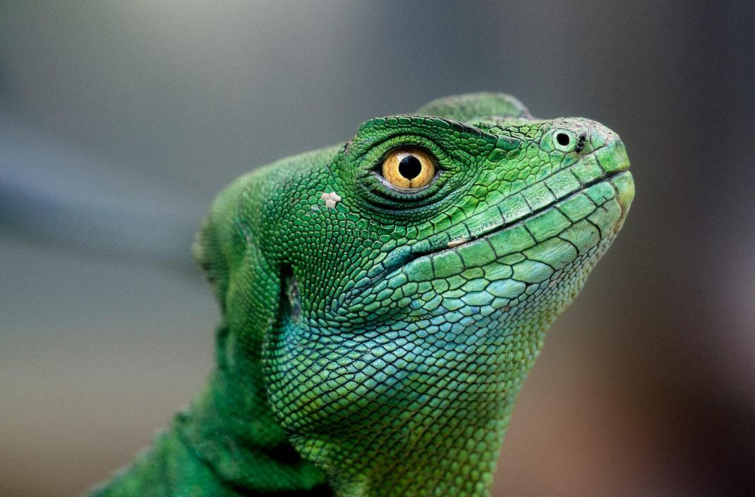 Green Leguan with big yellow eyes, Lizard in Frankfurt Zoo, Germany, 1280x842px