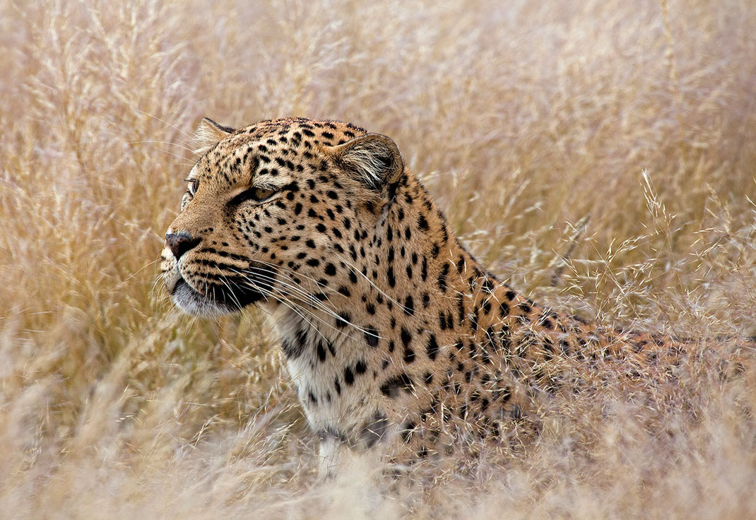 Leopard in high grass, beautiful cat, predator, Namib Naukluft, Namibia, Africa, 1280x880px