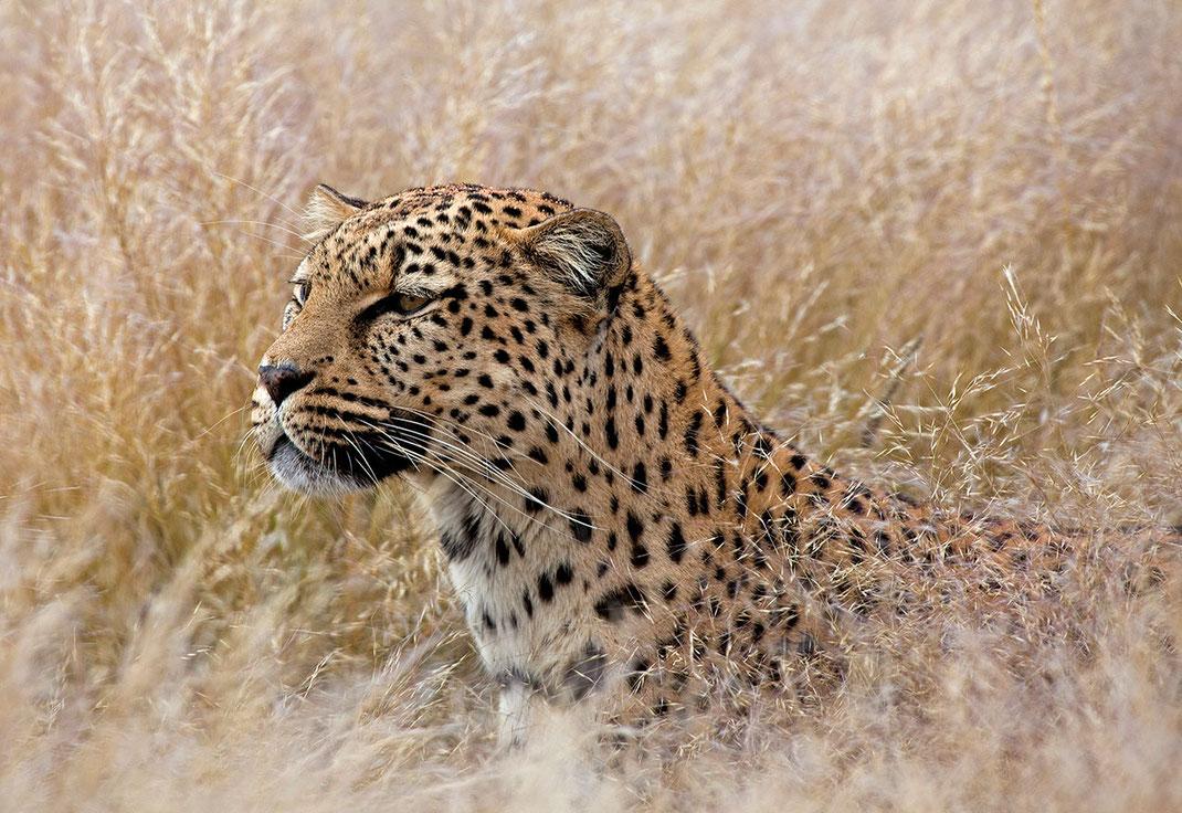Leopard in high grass, beautiful cat, predator, Namib Naukluft, Namibia, Africa, 1280x880px