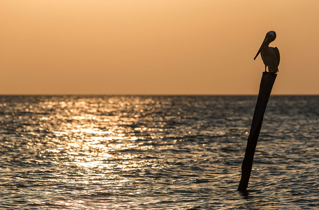 Pelican sitting on wood pole with golden light, Caribbean Ocean, Yucatan, Holbox, Mexico, 1280x844px