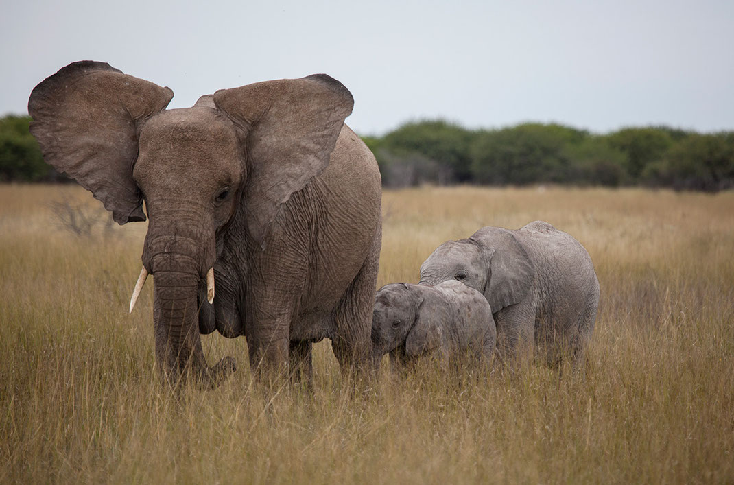 African Elephant Family in high grass, Wildlife, Etosha National Park, Namibia, Africa, 1280x846px