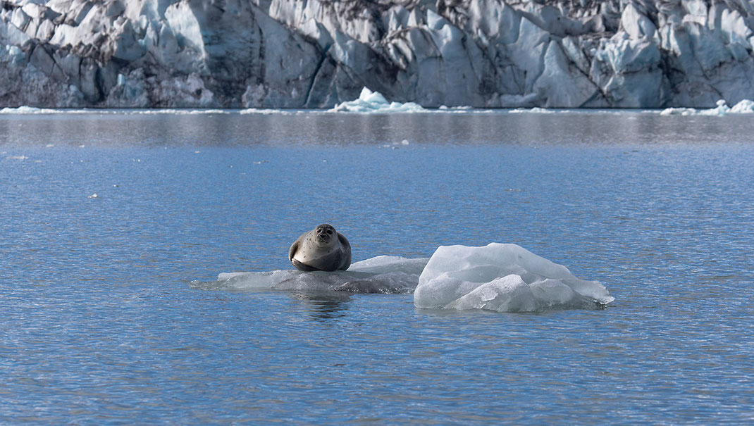Grey Seal floating on ice flow, Jokulsarlon Glacier lagoon, Austurland, Iceland, 1280x724px