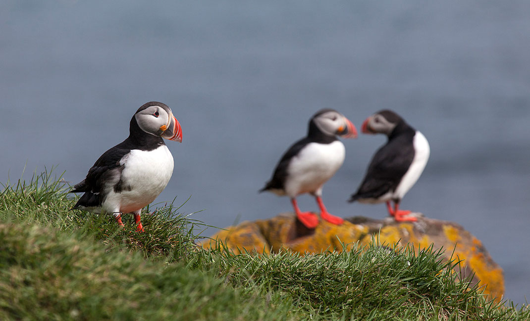 Beautiful and cute Puffins, Lundi sitting on a rock cliff , North Atlantic Ocean, Iceland, 1280x776px