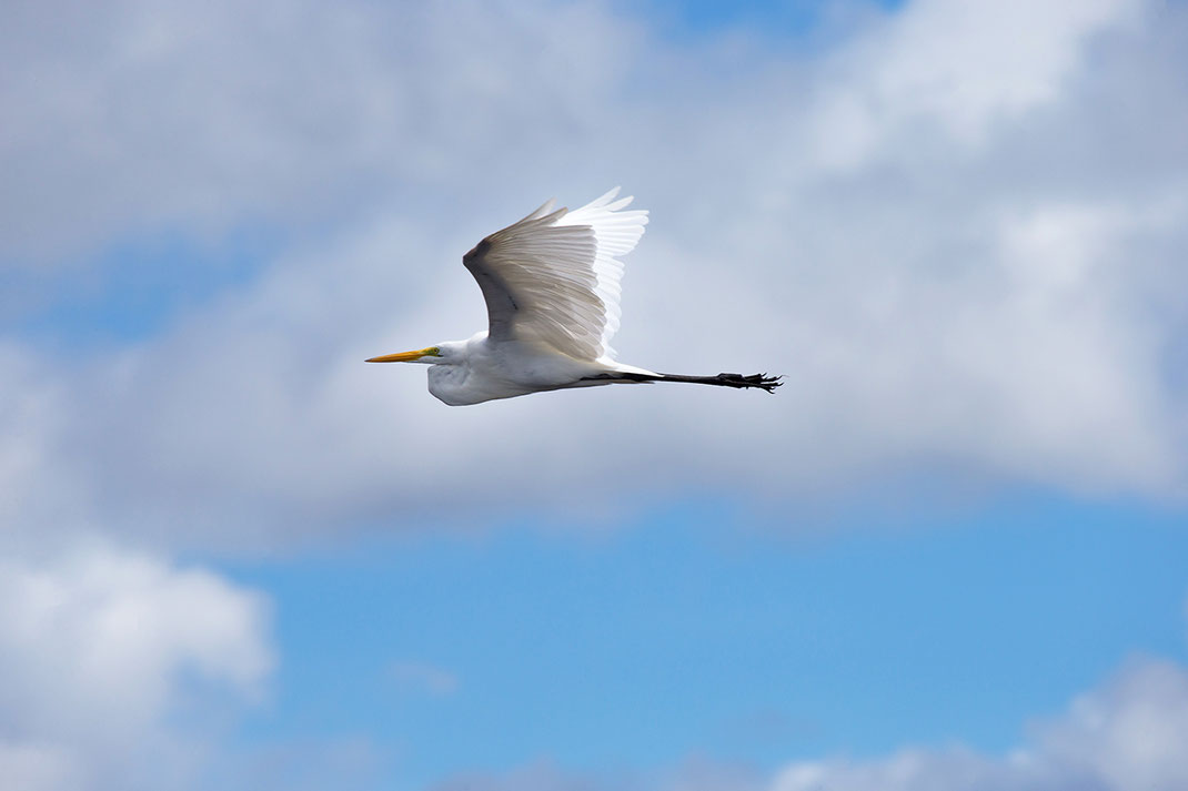 Beautiful White Heron flying at the Amazon River, Rainforest, Brasil, South America, 1280x853px