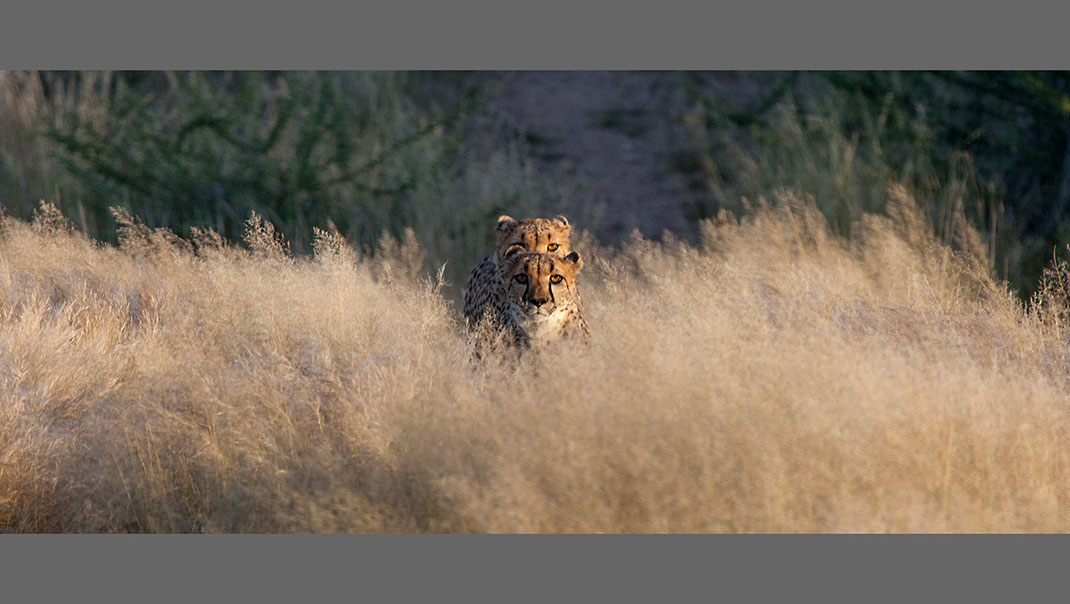 Two Cheetah's in high desert gras looking, Namib Naukluft National Park, Namibia, Africa, 1280x723px