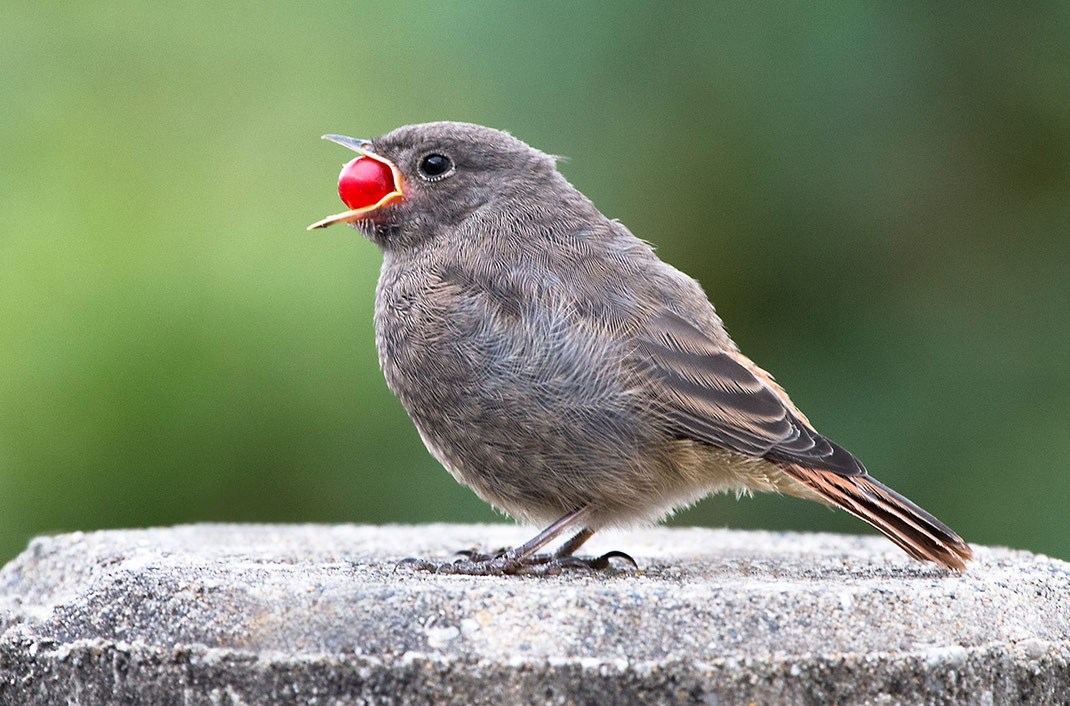 Sparrow trying to swallow a big red berry, Gross-Gerau, Hessen, Germany, 1280x844px