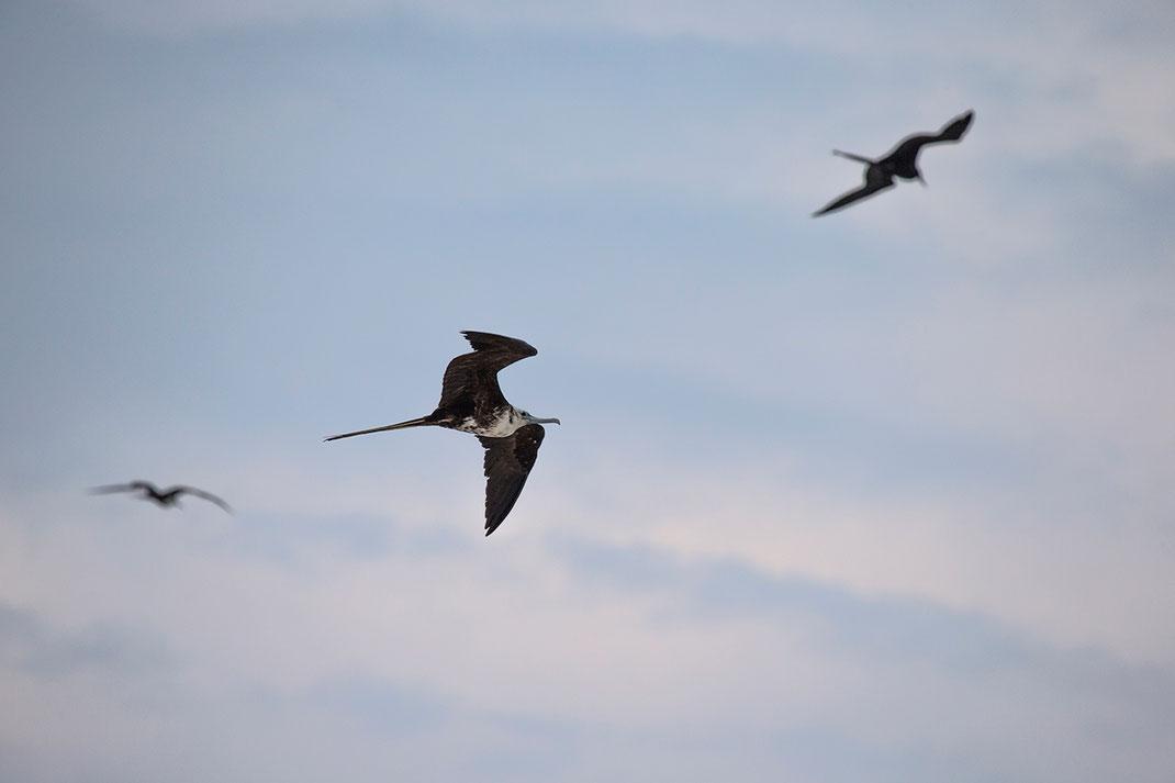 Three Frigate Birds flying at the Gulf of Mexico, Island Holbox, Yucatan Peninsula, Mexico, 1280x853px