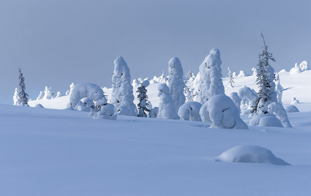 Symphony of white and blue, snowy trees in the Riisitunturin National Park, Posio, Lapland, Finland, Scandinavia