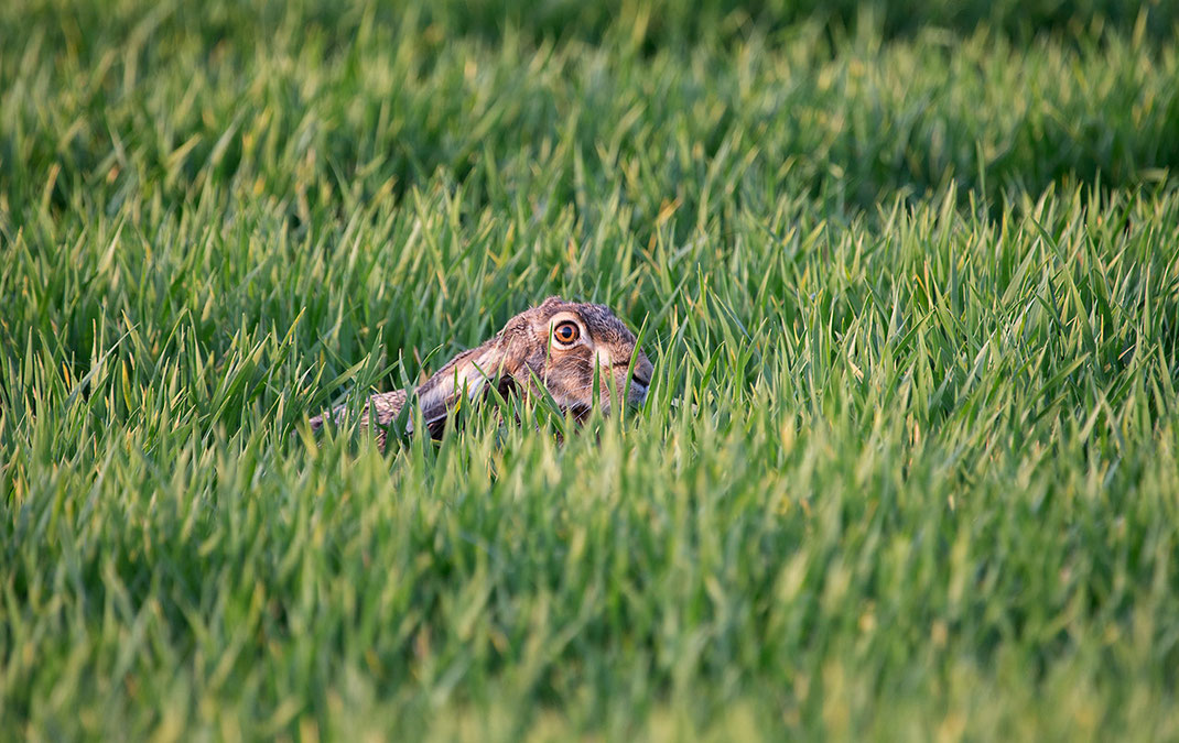 Brown hare hiding in the grass, wildlife at the Kuehkopf Nature Reserve, Rhine River, Hessen, Germany, 1280x808px
