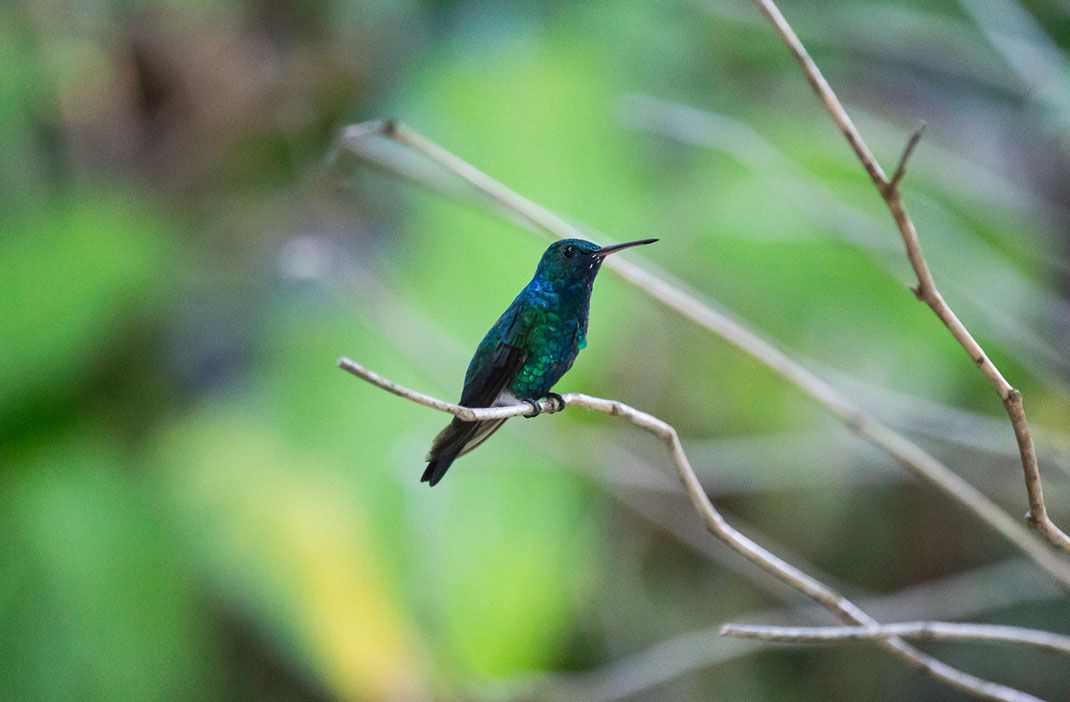 Beautiful Humming Bird with green and blue colors like a jewel, Rainforest, Jungle, Amazon, Brazil ,1280x840px