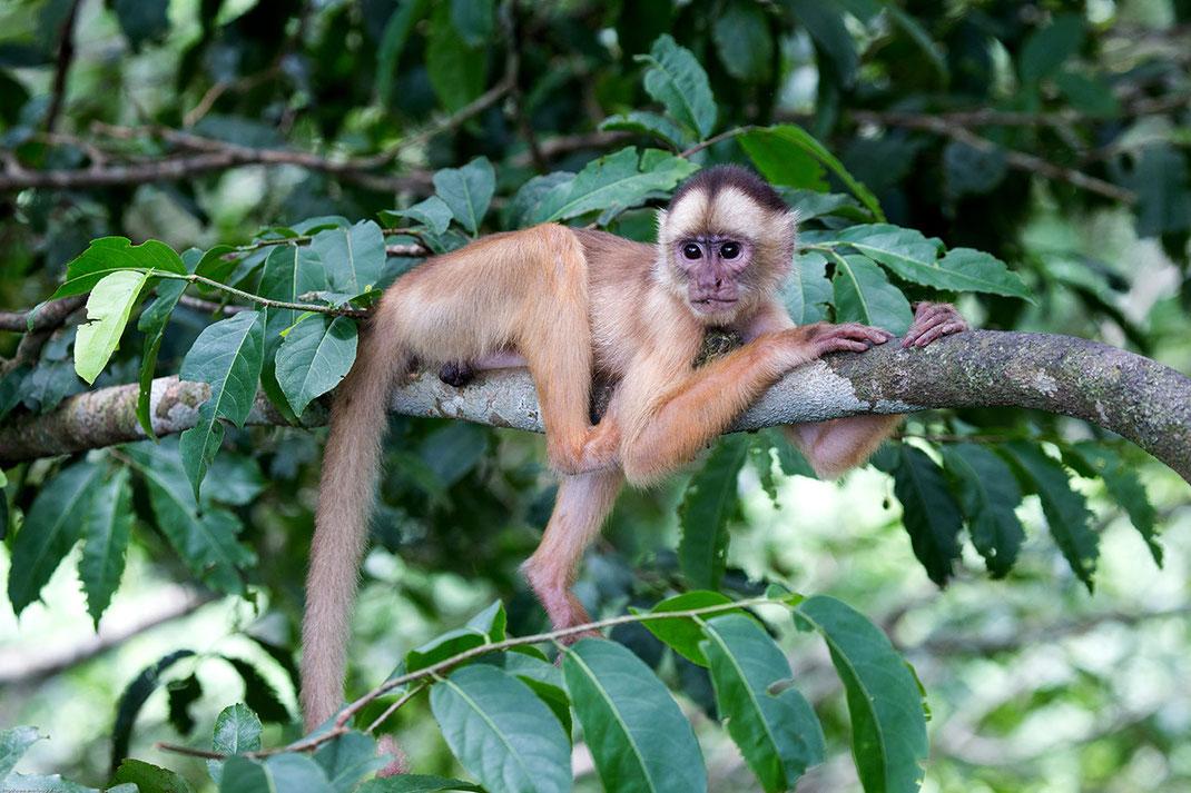 Capuchin Monkey resting in a tree, Amazon River, Rainforest, Jungle, Brazil, South America, 1280x853px