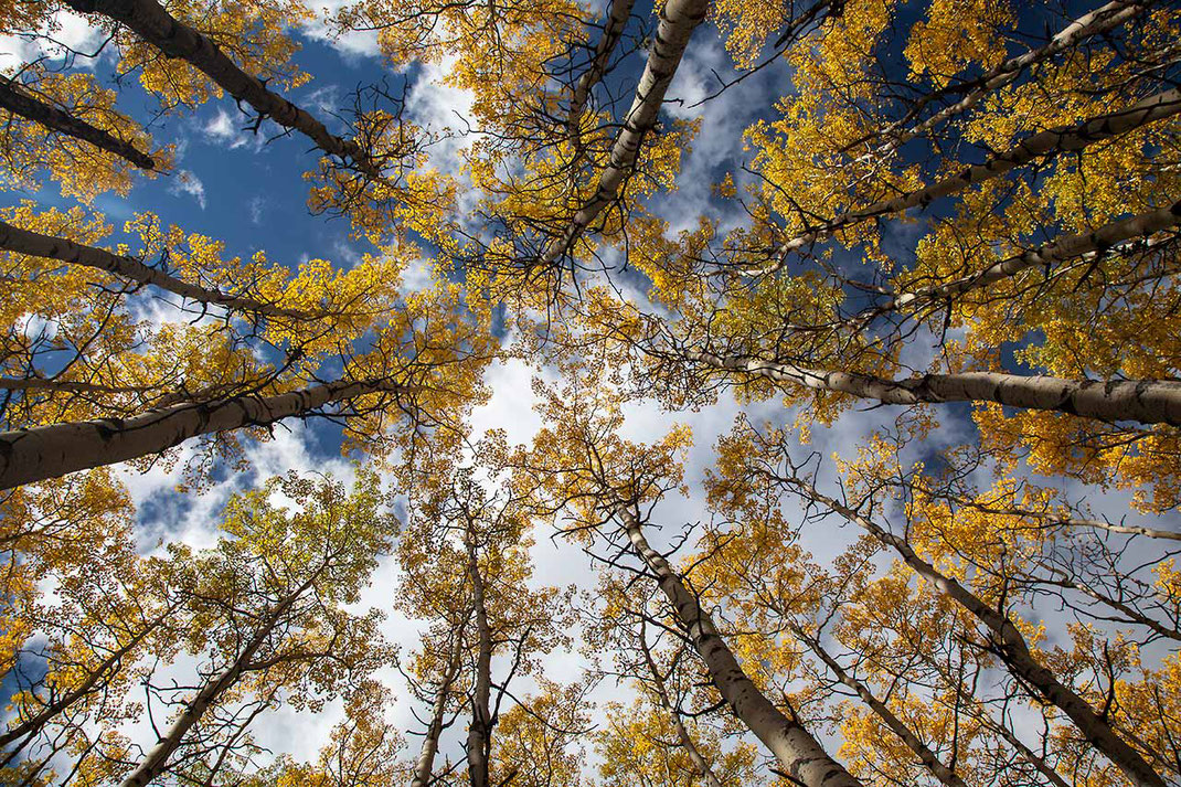 Group of yellow larch trees in autumn and blue sky, Japer National Park, Alberta, Canada, 1280x853px
