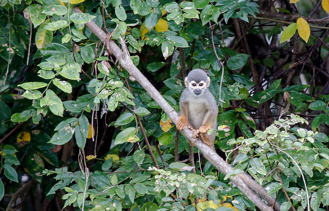 Wildlife cute Skull Monkey sitting on a rainforest tree in the Amazon jungle, Amazon, Brazil, 1280x826px