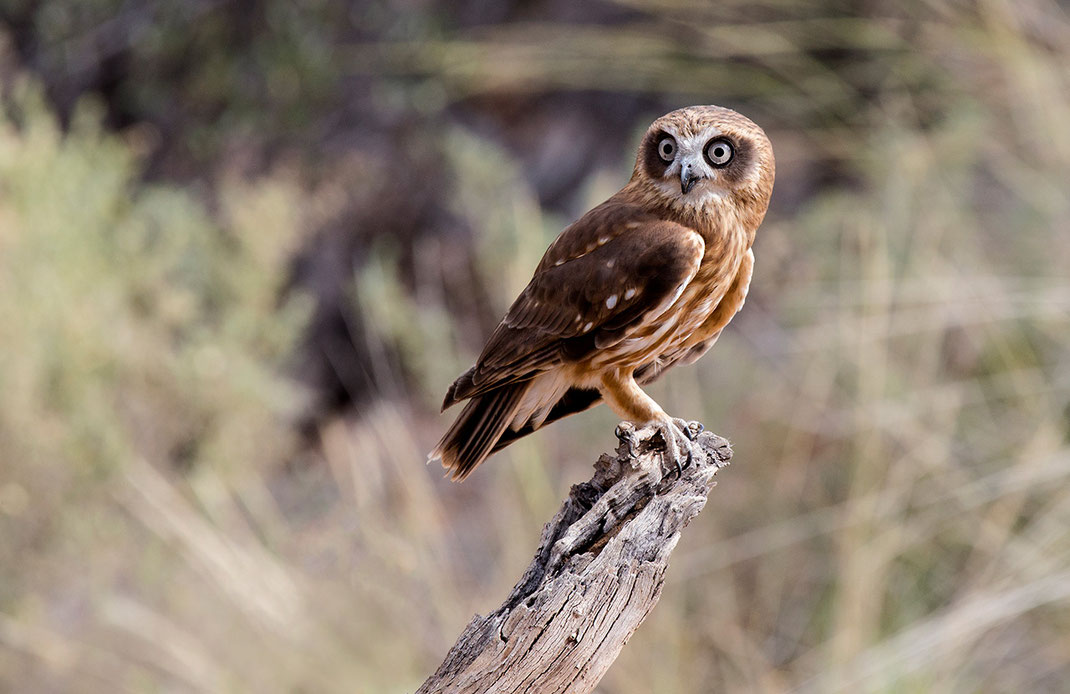 Beautiful Owl with big eyes on a wooden pole, Outback, Northern Territory, Desert Zoo, Australia, 1280x830px