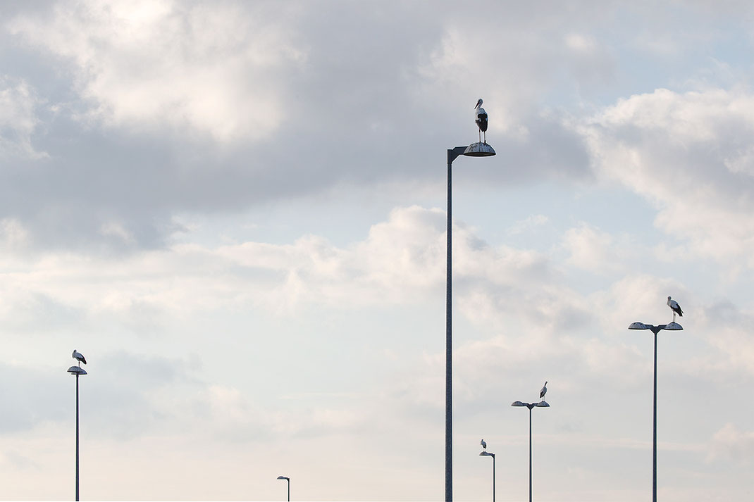Group of Storks sitting on Street Lights close to Gross-Gerau, Hessen, Germany, 1280x853px