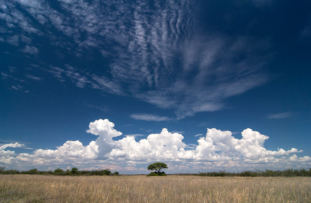 Solitaire tree in the bushland of Etosha National park with blue sky and white thunderstorm clouds, Namibia, 1280x835px
