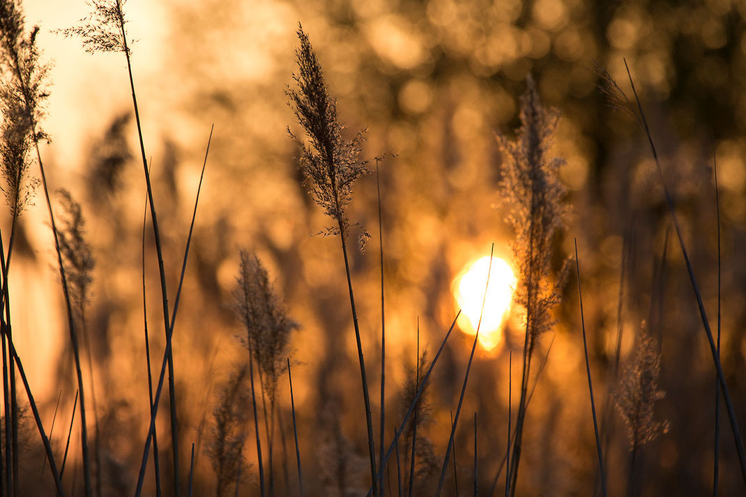 Last sun behind plants at sunset, warm colors nice silhouettes, Ried, Hessen, Germany