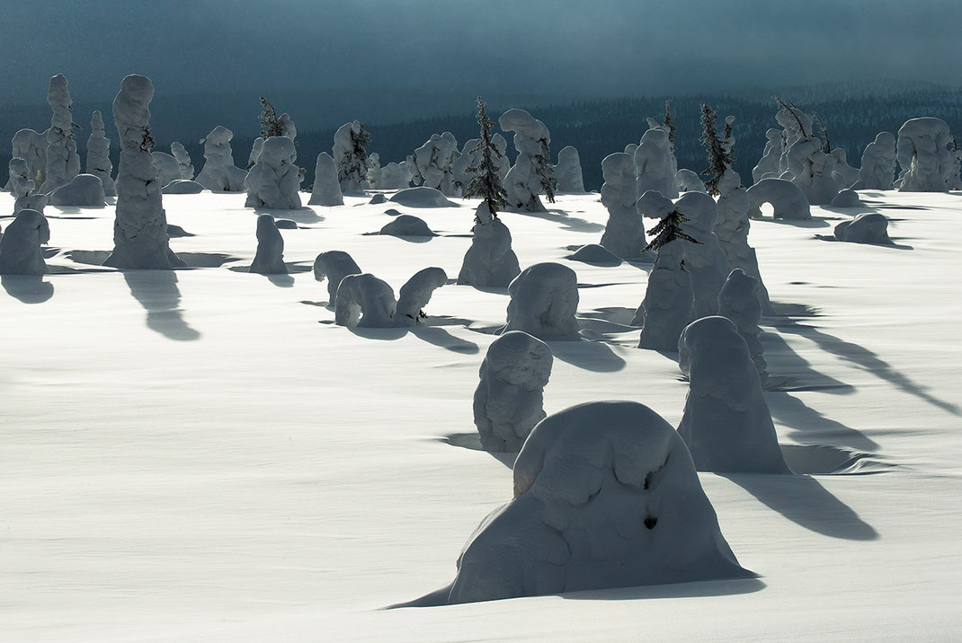 Snow covered trees looking like abstract sculturesin the Riisitunturin National Park, Lapland, Posio