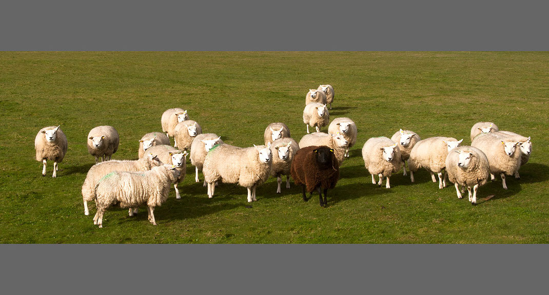 Black Sheep in a group of white sheep, Texel, Netherlands, Holland, 1280x689px