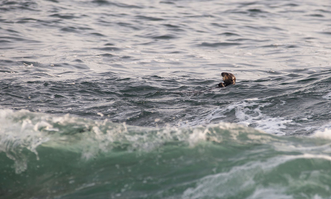 Sea Otter feeding and swimming on back, Pacific Ocean, Wildlife, California, USA, 1280x772px