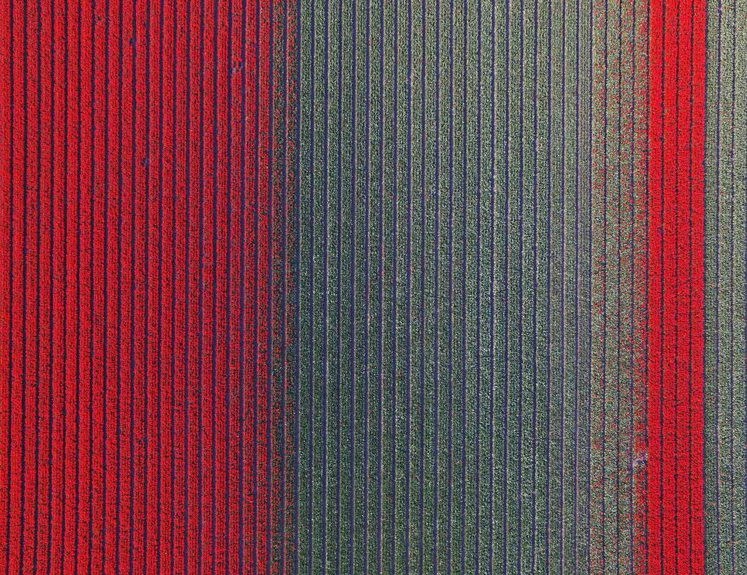 Red Tulip Flowers in Holland Keukenhof during Spring Flowers, Dji Phantom, Drone, Netherlands, 1280x986px