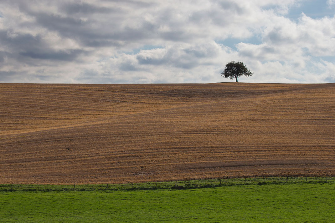 Solitaire tree with gras and corn field, Minimalistic Landscape Picture, Rheinland Pfalz, Germany, Europe