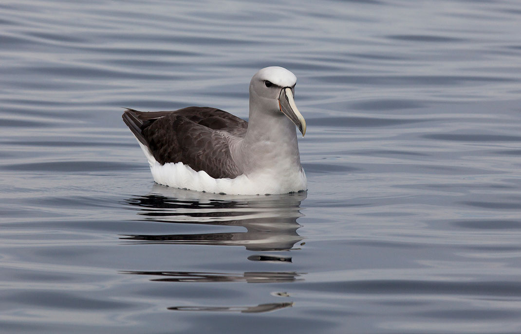 White Capped Albatross floating at the South Pacific Ocean, South Island, Kaikoura, New Zealand, 1280x822px