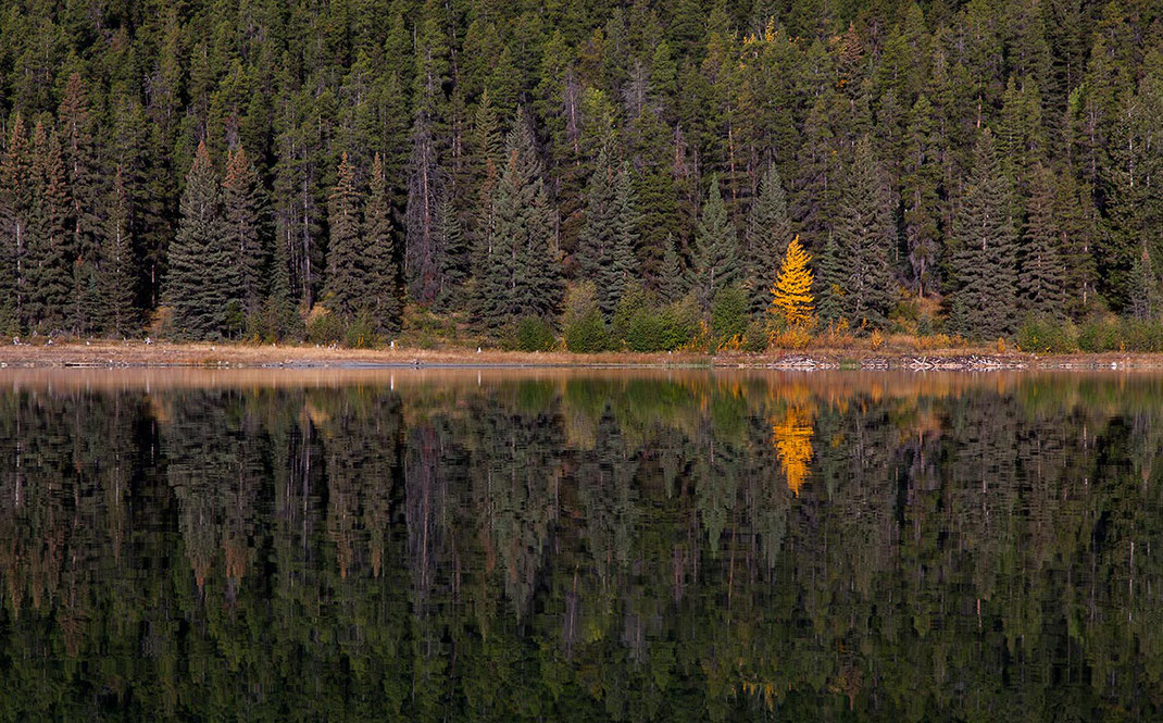 Yellow solitaire larch tree with beautiful reflection in Patricia Lake  in sunshine, Japer National Park, Alberta, Canada, 1280x796px